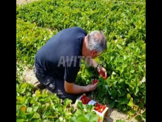 terrain fraise hmzaaa